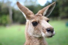 Kangaroo under a afternoon sky Royalty Free Stock Photos
