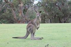 Kangaroo front of me , Sydney Australia Royalty Free Stock Image