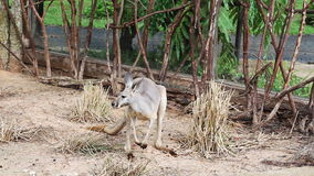 Kangaroo Wallaby - Australian Wildlife. Stock Photo
