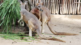 Kangaroo Wallaby - Australian Wildlife. Stock Image