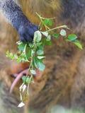 Kangaroo: Wallaby close-up portrait Royalty Free Stock Photo