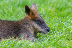 Kangaroo: Wallaby close-up portrait Royalty Free Stock Photos