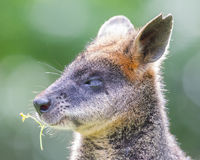 Kangaroo: Wallaby close-up portrait Royalty Free Stock Photo