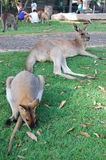 Kangaroo and wallaby lie at grass Stock Photography