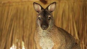 Kangaroo or Wallaby stand on pile of straw Royalty Free Stock Photo