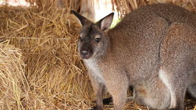Kangaroo or Wallaby stand on pile of straw Royalty Free Stock Images