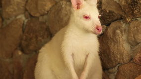 Kangaroo or Wallaby, white color with red eyes Stock Images