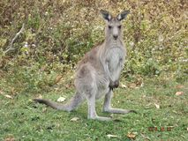 Kangaroo wary and ready to jump. Reserve ar Coombabah Stock Photography
