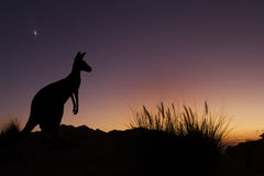 Australian Kangaroo watching the dawn. Silhouette of kangaroo at sunrise looking into the day Stock Photography