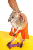 Kangaroo with weight workout Royalty Free Stock Photography