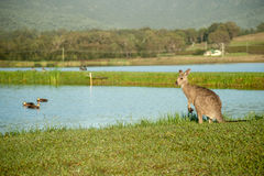 Kangaroo wet in morning dew standing by pond Royalty Free Stock Images