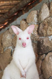 Kangaroo, white color. In the farm Stock Images
