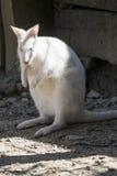 Kangaroo white. In the farm Stock Photo