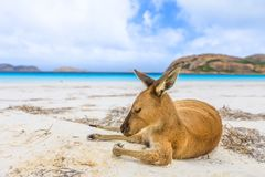 Kangaroo on white sand. Close-up of kangaroo on white sand of Lucky Bay in Cape Le Grand National Park, near Esperance in WA. Lucky Bay is one of Australia`s Stock Image