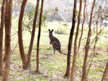Kangaroo in the wild Stock Photo