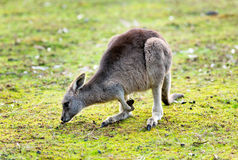Kangaroo in the wild Stock Photography