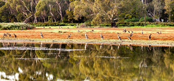 Kangaroo in the wild Stock Photography