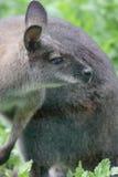 Kangaroo. Royalty Free Stock Images