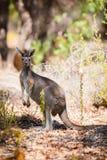 Kangaroo in the wild Royalty Free Stock Photo