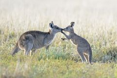 Free Kangaroo With Baby Joey In Outback. Stock Photos - 158804223