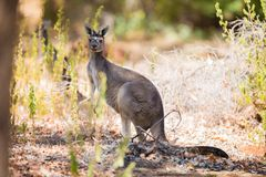 Kangaroo in the woods Stock Images