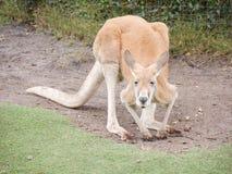 Kangaroo. Yellow kangaroo in action Stock Images