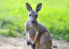 Kangaroo. Young Australian kangaroo on a green grass Royalty Free Stock Image