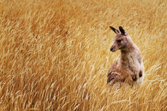 Kangaroo. Young kangaroo in long wild grass Royalty Free Stock Photography