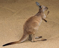 Kangaroo. Young Red Kangaroo Standing With Paws Up Royalty Free Stock Photo
