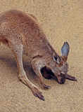 Kangaroo. Young Red Kangaroo Standing Sniffing Ground Royalty Free Stock Image