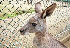Kangaroo in zoo Royalty Free Stock Photography