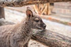 Kangaroo in Zoo Royalty Free Stock Images