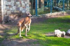 Kangaroo. In the zoo of Belgrade in Serbia Stock Photography