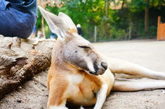 Kangaroo in zoo, Canada Stock Images