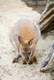 Kangaroo in zoo Stock Photography
