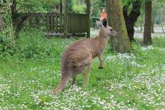 Kangaroo. In a zoo nature park Royalty Free Stock Photo