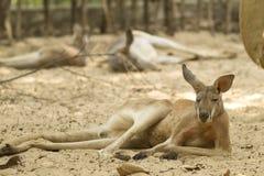 Kangaroo in the zoo Royalty Free Stock Photography