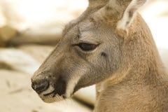 Kangaroo in the zoo Royalty Free Stock Photos