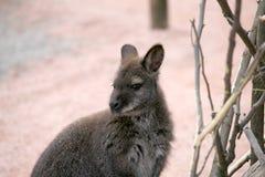 Kangaroo. In the zoo portrait Stock Photo