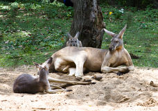 Kangaroo. Zoo Kangaroo trying to make himself more comfortable in one hole dug in the sand Royalty Free Stock Images