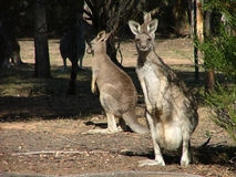 Kangaroos. Eastern grey kangaroos royalty free stock photo