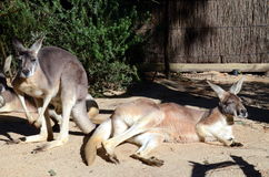 Kangaroos Royalty Free Stock Photos