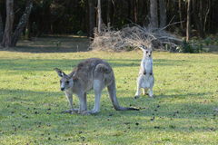Kangaroos. Mom kangaroo with child Royalty Free Stock Images