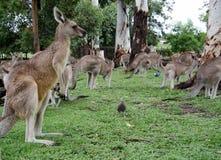 Kangaroos Stock Photos