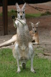 Kangaroos Royalty Free Stock Photo