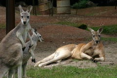 Free Kangaroos Royalty Free Stock Photo - 432875