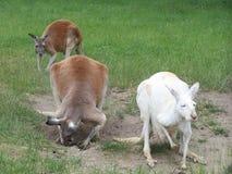 Kangaroos. 3 kangaroos royalty free stock photography
