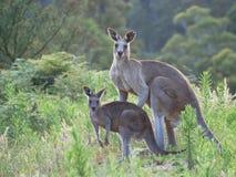 Kangaroos. Megalong Valley, Blue Mountains, Australia Stock Photography
