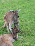 Kangaroos. Australia stock images