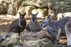 Free Kangaroos At Taronga Zoo Stock Photo - 181069520